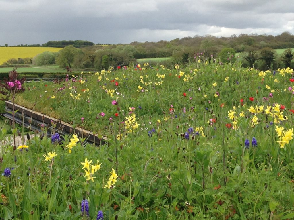 Wildflower Green Roof Under planted with spring bulbs